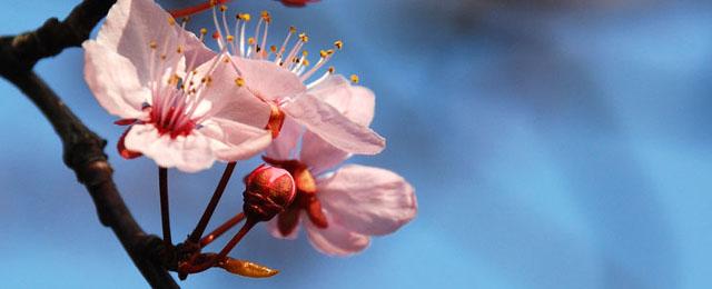 Kirschblüte-vor-blauem-Himmel